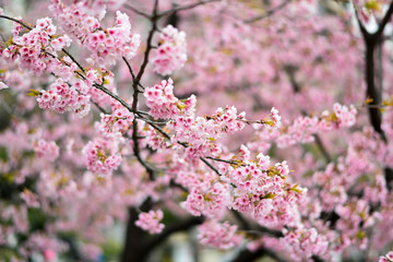 cherry bossoms in Sumda-Park Japan