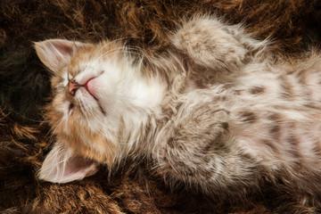 A three colored kitten sleeping on a fur blanket