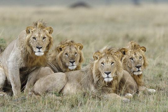 Lion (Panthera leo) males resting Masai-Mara Game Reserve, Kenya. Vulnerable species.