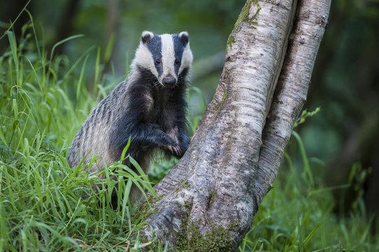 European Badger (Meles meles) foraging at tree trunk in deciduous woodland.  Mid Devon, UK. June.