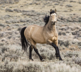 Wild dun Mustang stallion running in Adobe Town, Wyoming, USA. October.