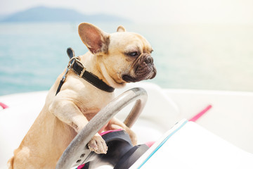 Funny French Bulldog dog is sitting behind the wheel of a speedboat, making a serious look at the background of the sea, sunny summer day. lighting effects, speed boat