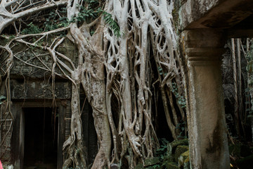 Roots tree growing over doorway in ancient ruins of Ta Prohm at