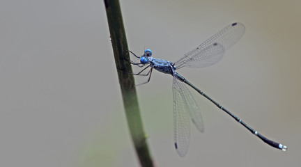 Dragonfly, Dragonflies of Thailand ( Lestes praemorsus ), Dragonfly rest on twigs