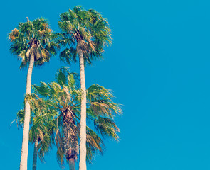 palms under clear sky in California