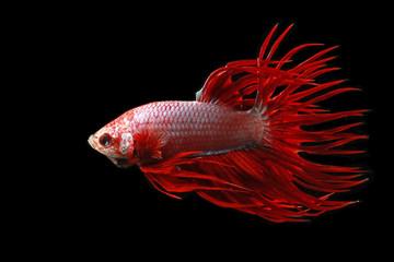 Betta fish against black background