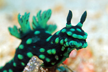 Close-up of a Cristate Neon Slug (Nembrotha Cristata), Padang Bai, Bali, Indonesia