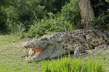 Nile Crocodile (Crocodylus Niloticus) with Open Mouth, Lying on the River Bank. Murchison Falls, Uganda