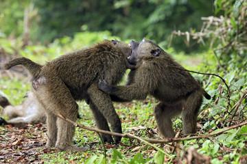 Juvenile Olive Baboons (Papio Anubis) Fighting. Bigodi Swam, Uganda