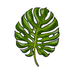 Full fresh leaf of monstera palm tree, sketch style vector illustration isolated on white background. Realistic hand drawing of monstera palm tree leaf, jungle forest design element