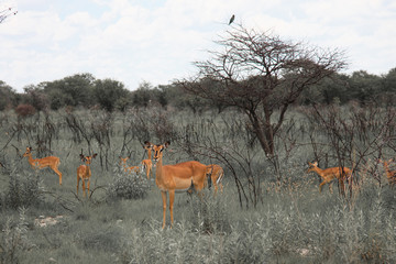 huge family  herd impala grazing in the field    in the Etosha P