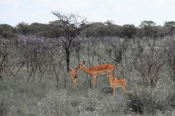 huge family  herd springbok grazing in the field    in the Etosh