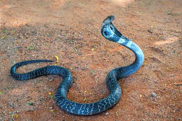 Wild Indian cobra on ground