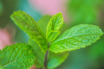 close up of menta leaf