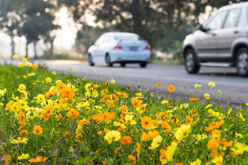 Cars with flower Cosmos.