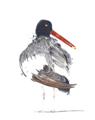 Bird seashore american oyster catcher watercolor painting illustration isolated on white background