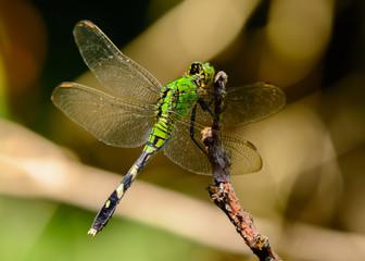 Female Eastern Pondhawk Dragonfly (Erythemis simplicicollis)