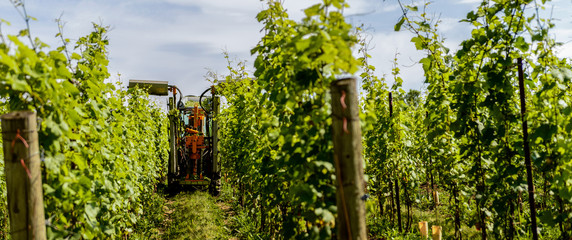 hedger or topper trimming grape vines at a winery