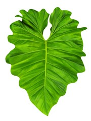 Philodendron large jungle leaf,  common name elephant ear, isolated, close up,  on white background