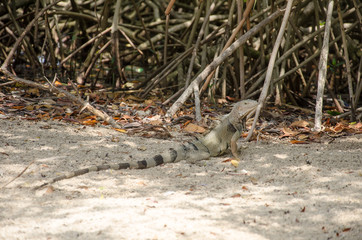 Wild iguana at the sand in Aruba