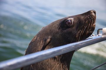 one of huge herd of fur seal swimming near the shore of skeleton