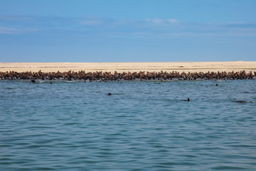 huge herd of fur seal swimming near the shore of skeletons in th