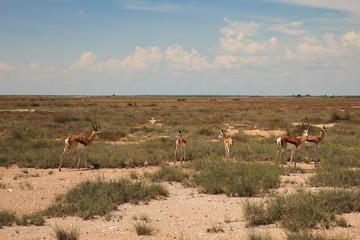 huge herd of springbok grazing in the field  in the Etosha Park,
