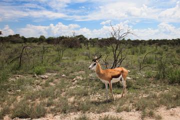 springbok antelope hears sounds between the bushes.     in the E