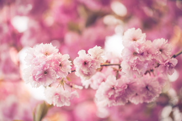 Branch full of pink faded flowers in summer blossom time on pink