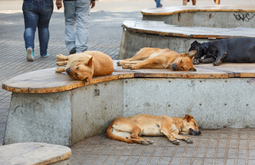 Siesta dogs on city street in Valparaiso, Chile