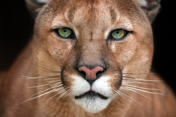 Photo sur Aluminium Puma Puma close up portrait with beautiful eyes isolated on black background