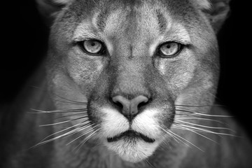 Zelfklevend Fotobehang Panter Puma close up portrait isolated on black background. Black and white