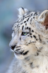 Beautiful cute snow leopard baby portrait close up on blue background