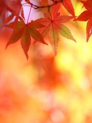 モミジ 紅葉 秋色