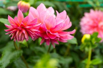 Beautiful Chrysanthemums in pink