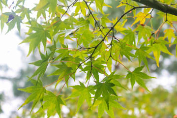 Maple Leaves in Autumn, Japan