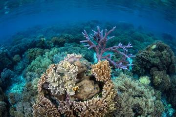 Fragile Corals in Solomon Islands