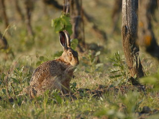 Rabbit resting in the vineyard.