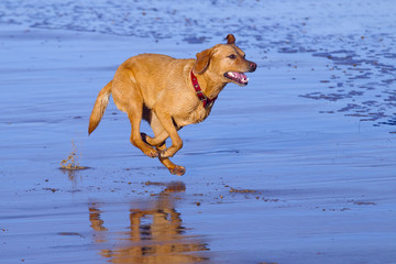 Yellow Labrador running along Norfolk beach