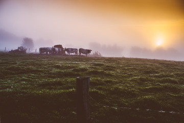 MORNING COWS