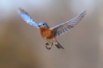 Fotoväggar - Eastern Bluebird (Sialia sialis) In Flight