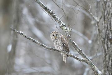 降雪の中のフクロウ(Ural owl)