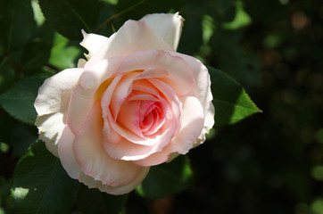 Romantic pink rose in a summer garden.