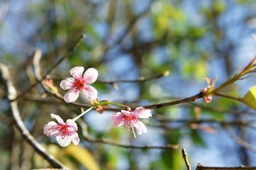 Wild Himalayan Cherry on tree