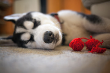 Tired husky puppy is resting with three red balls of wool; selective focus on the tip of nose.