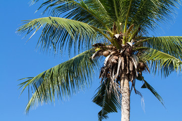 The coconut tree on blue sky background.