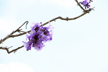 Jacaranda is a genus of 49 species of flowering plants in the family Bignoniaceae, native to tropical and subtropical regions of Central America, South America, Cuba, Hispaniola, Jamaica and the Baham
