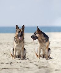 Picture of two German Shepherd standing in front of the sea.