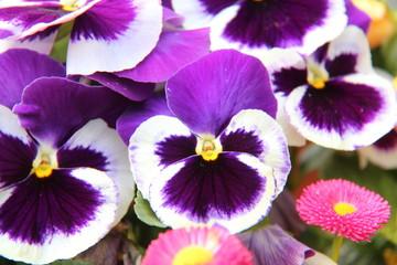 Stiefmütterchen lila weiß