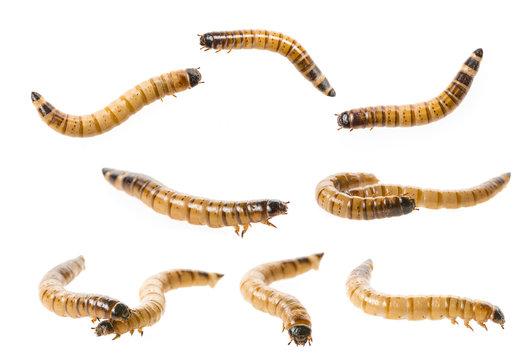Zophobas atratus/ morio - meal worm isolated on white